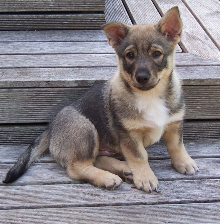 Swedish Vallhund. I want one of these so bad! They look like a mix of wolf, corgi, and German shepherd!!!!