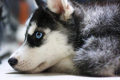 Humdrum Day Where Are My Friends Husky Puppy Dog Lovers