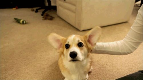 The corgi who doesn't know why everyone's laughing. | 51 Corgi GIFs That Will Change Your Life