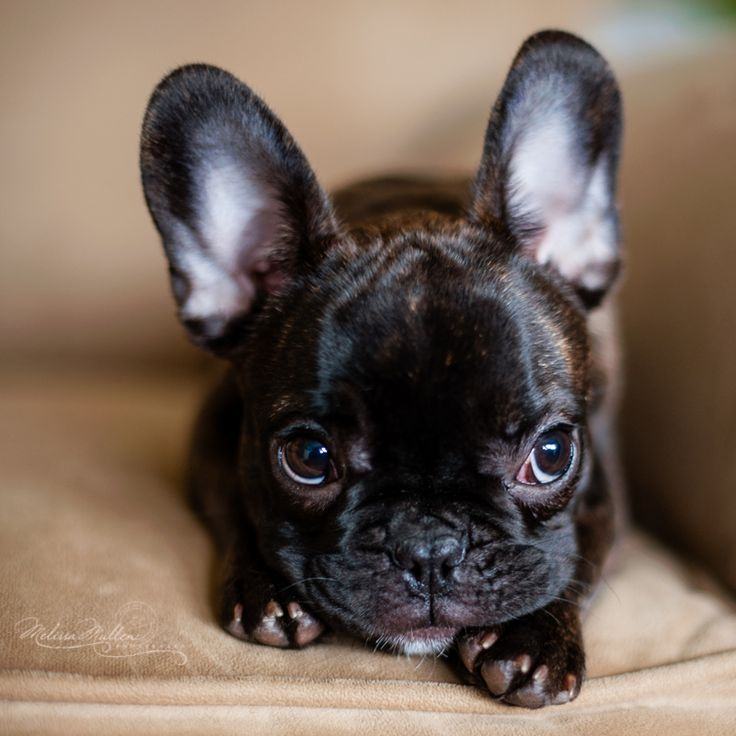 French Bulldog Puppy Portrait by Melissa Mullen Photography | See more about