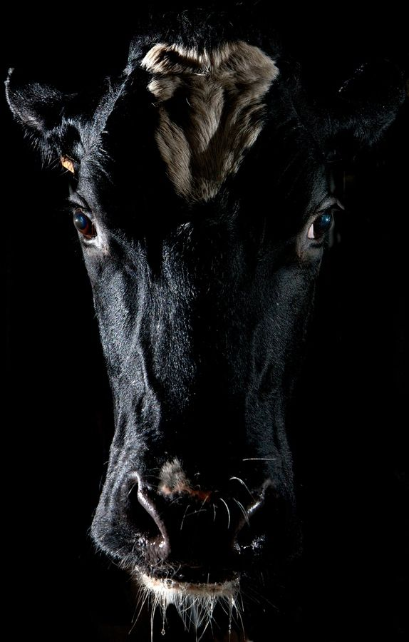 @Mindy Sue this dramatic portrait of a cow totally reminded me of you and your love of Wisconsiny things :)