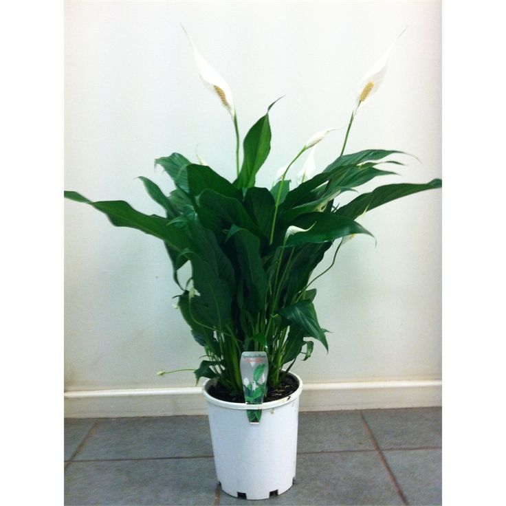 Find 175mm Spathiphyllum Peace Lily at Bunnings Warehouse. Visit your local store for the widest range of garden products.