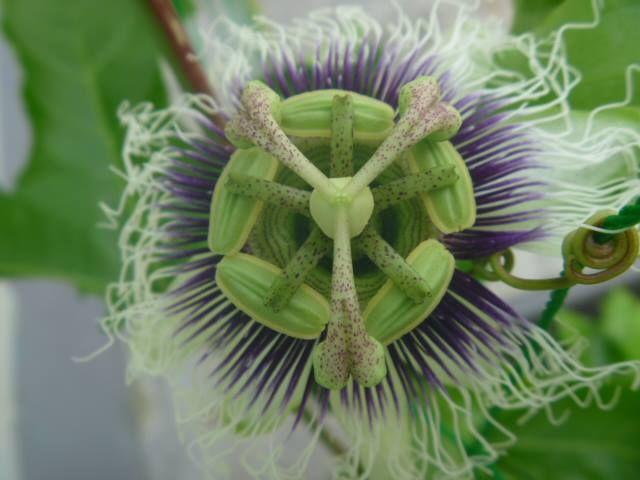写真: これ、なんの花だか分かりますか?案内所の壁に作った緑のカーテン「パッションフルーツ」の花なんです(*^_^*)実は私も初めて見ました。とっても不思議な花ですねぇ~。そろそろ実がなりますね☆ https://www.facebook.com/kankou.asahi?fref=ts