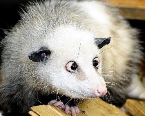 opossum-heidi  Heidi (* 2008 in North Carolina, Vereinigte Staaten; † 28. September 2011 in Leipzig[1][2]) war ein Opossumweibchen, das in der Tropenhalle Gondwanaland im Zoo Leipzig lebte und aufgrund seines markanten Aussehens (starkes Schielen und vorstehende Augen) mediale Aufmerksamkeit erhielt.