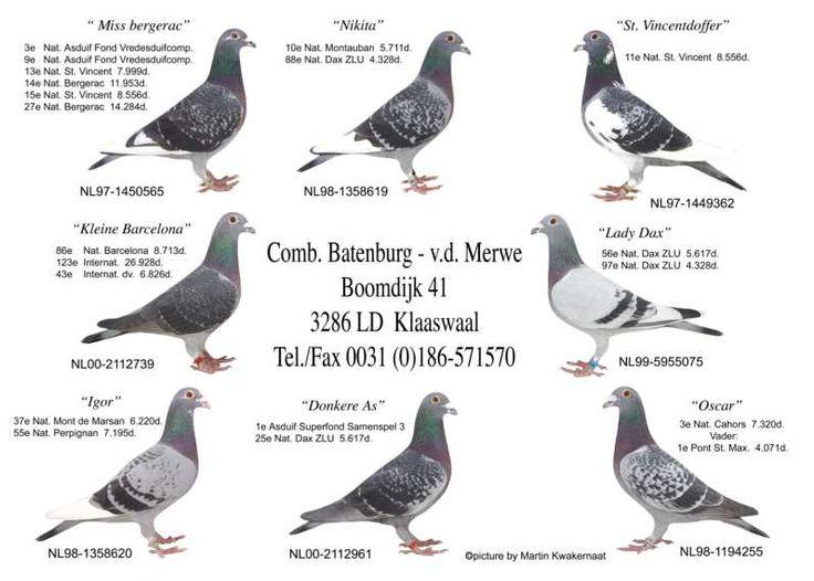 """Képtalálat a következőre: """"batenburg van de merwe pigeons"""""""