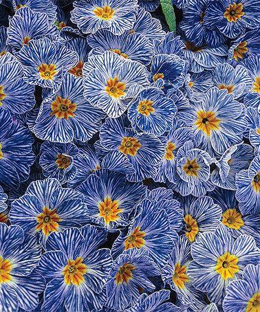 Another great find on #zulily! Live Blue Zebra Primrose Plant by Spring Hill Nursery #zulilyfinds