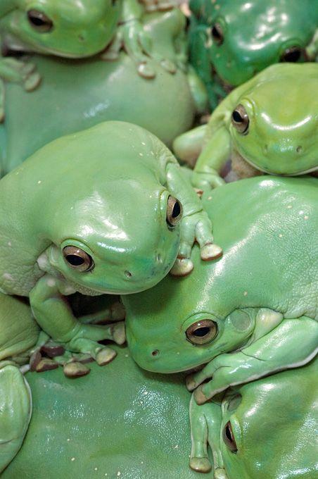 Whites Tree frogs