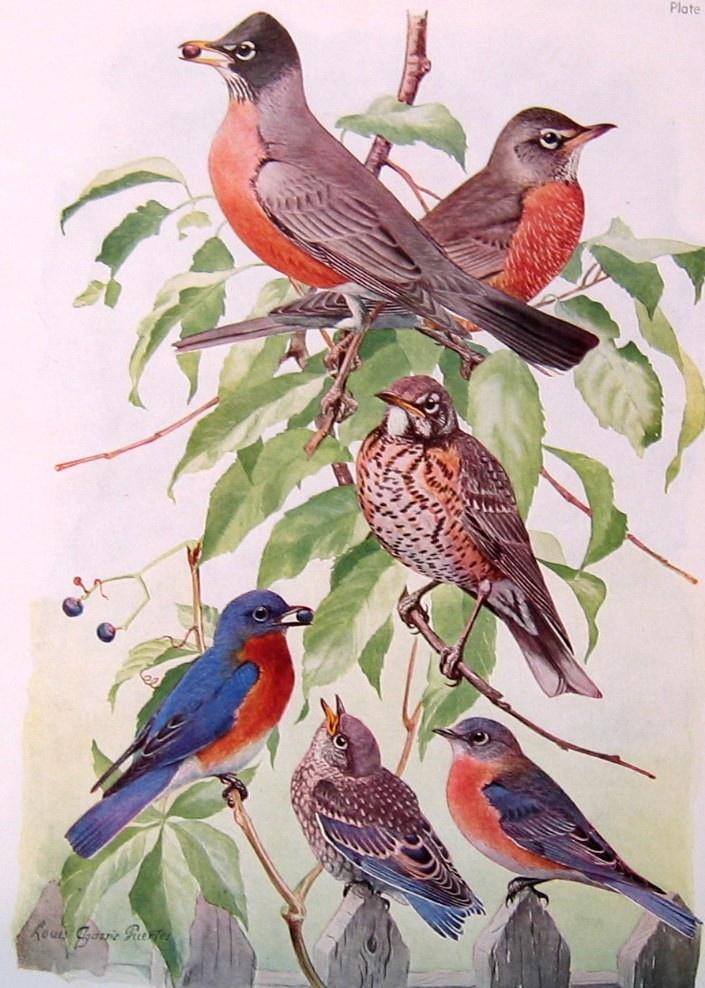 1936 Thrush Veery Robin Bluebird Vintage Book Page Fuertes P105-106