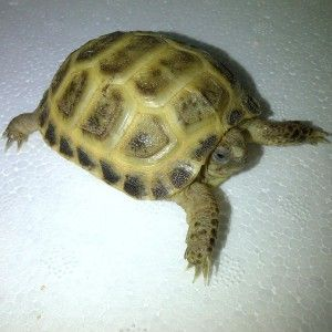 Young Captive Bred Horsfield Tortoise for Sale with Tortoise Table