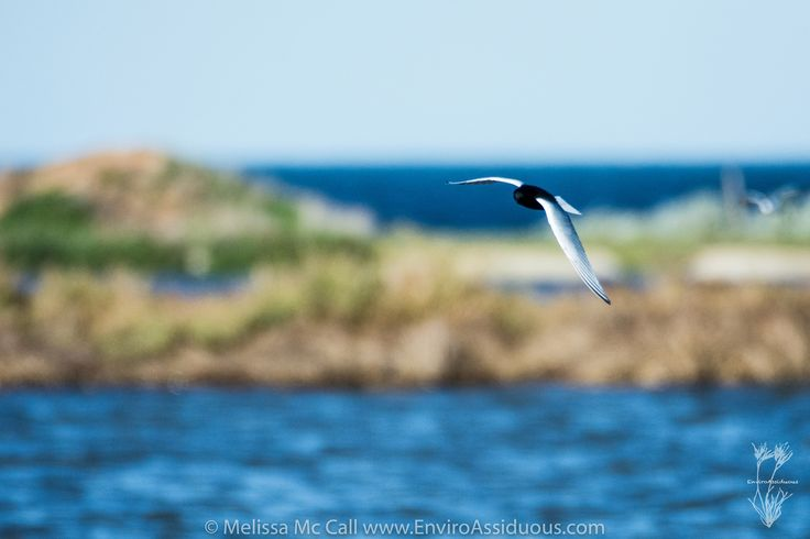 https://flic.kr/p/HaZEha | White-winged black tern |  #wtp #westerntreatmentplant #melbournewater #melbourne #visitmelbourne #victoria #visitvictoria #enviroassiduous #explore #tern #birds #migratory #australia #explore  #thegreatoutdoors #melbonpix #ig_discover_australia #liveinvictoria