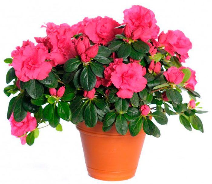 Цветущие домашние растения в картинках