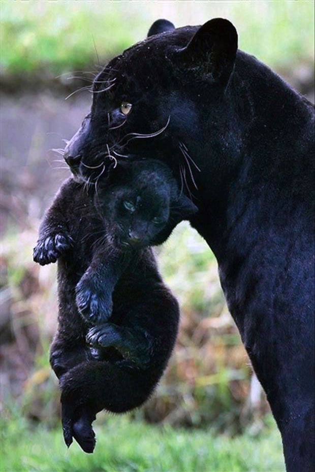 Black Panther With Cub Our Beautiful Earth Pinterest