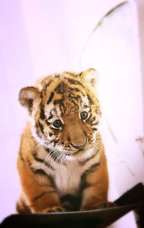 """Tiger Cub: """"I HAVEN'T put on any weight!"""""""