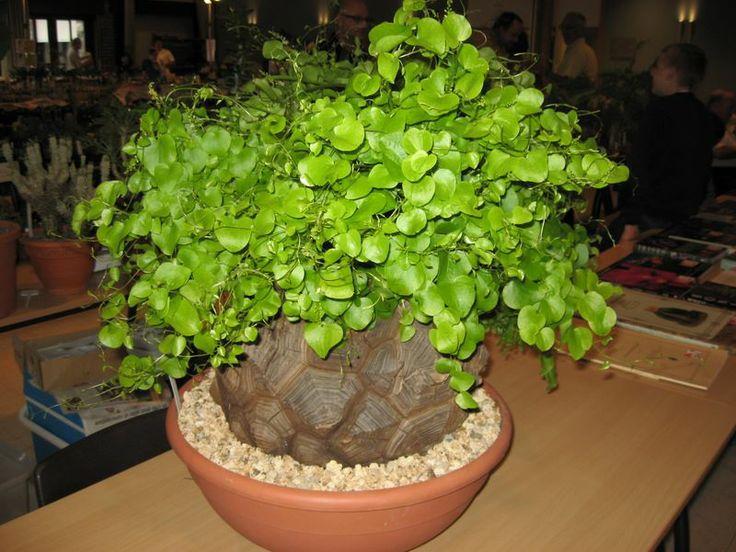 dioscorea elephantipes succulents cactus moss. Black Bedroom Furniture Sets. Home Design Ideas
