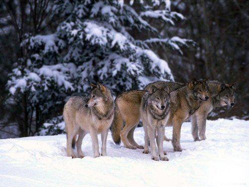 Волки [фото]   Черные волки, Волчата, Волк