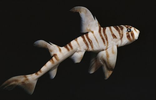 Zebra Horn Shark (Heterodontus Zebra) South Pacific