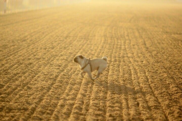 #pug #free #dog #peach