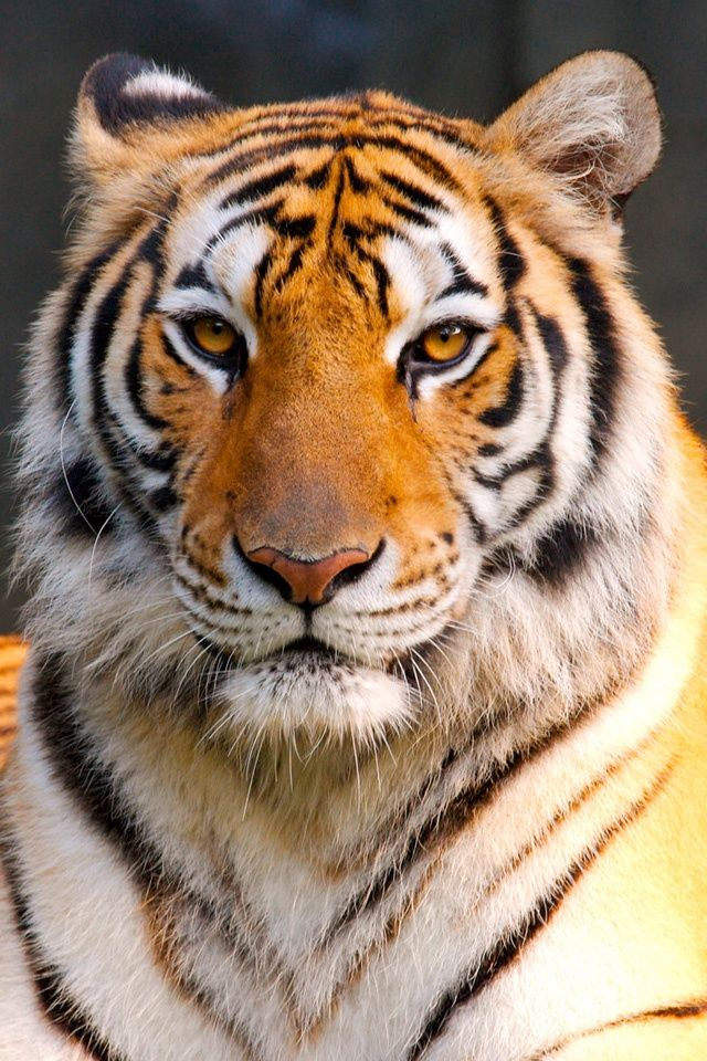 tigers | Global Summit to Save the Tigers | Save Tigers | Global Summit