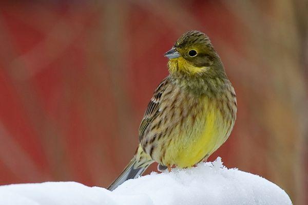 Keltasirkku - photo Antti Kylmäkoski