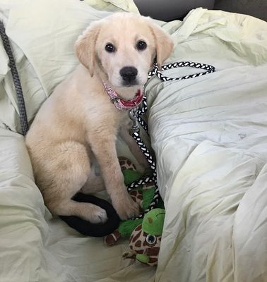 Meet Marley, an adoptable Golden Retriever looking for a forever home. If you're looking for a new pet to adopt or want information on how to get involved with adoptable pets, Petfinder.com is a great resource.