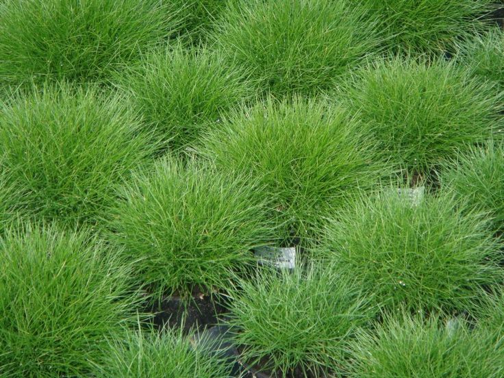 Festuca scoparia bearskin fescue compact mounding for Low mounding ornamental grasses