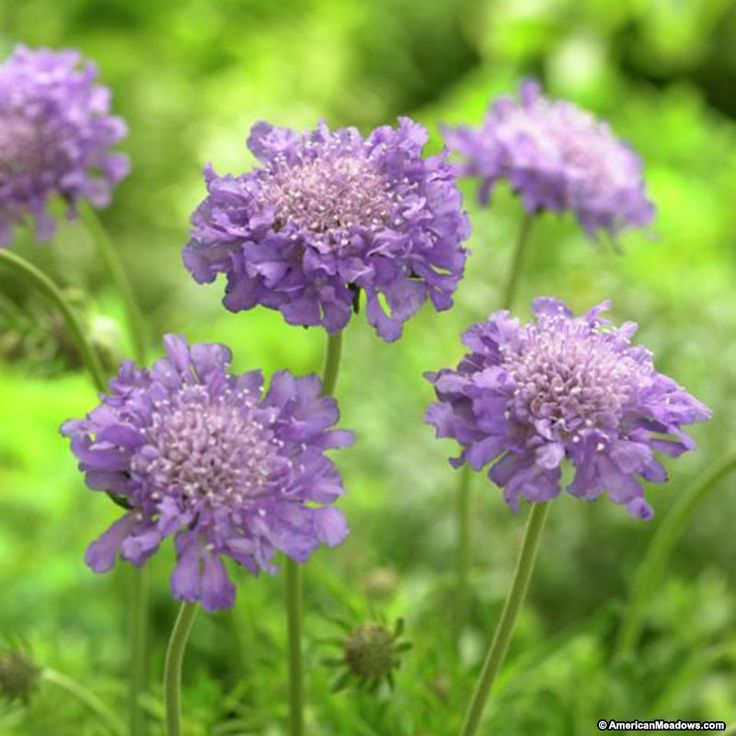 Butterfly Blue also called Pincushion Flower, everybody loves this one, with its true blue flowers. (Scabiosa columbaria)