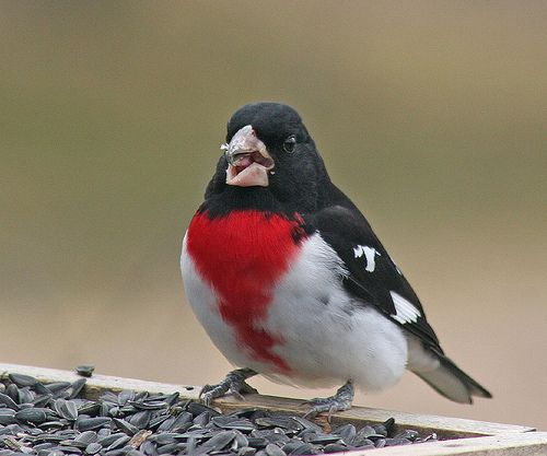 94 Best Images About Birds Of South America On Pinterest