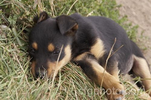 The Kelpie, Australian Kelpie or Working Kelpie is an Australian-raised sheep dog breed that is also used for working cattle. It originated around the mid-1800s. ....or shivs as pup?! :D <3 :)