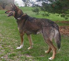 Alaskan Husky - United States (Alaska) - Sled dog