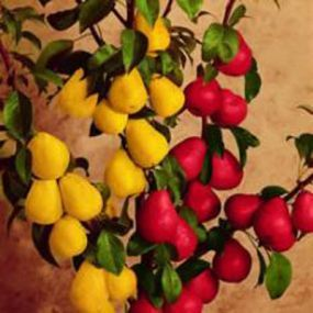 Multi-Grafted Fruit Trees for Small Gardens