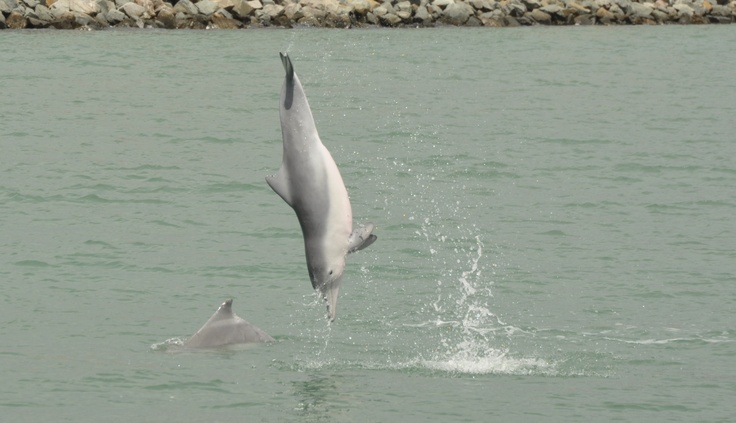 Indo-pacific humpback dolphin leaping