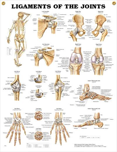 Ligaments of the Joints anatomy poster shows location of various joints and provides views of shoulder, elbow, hip, knee and ankle.