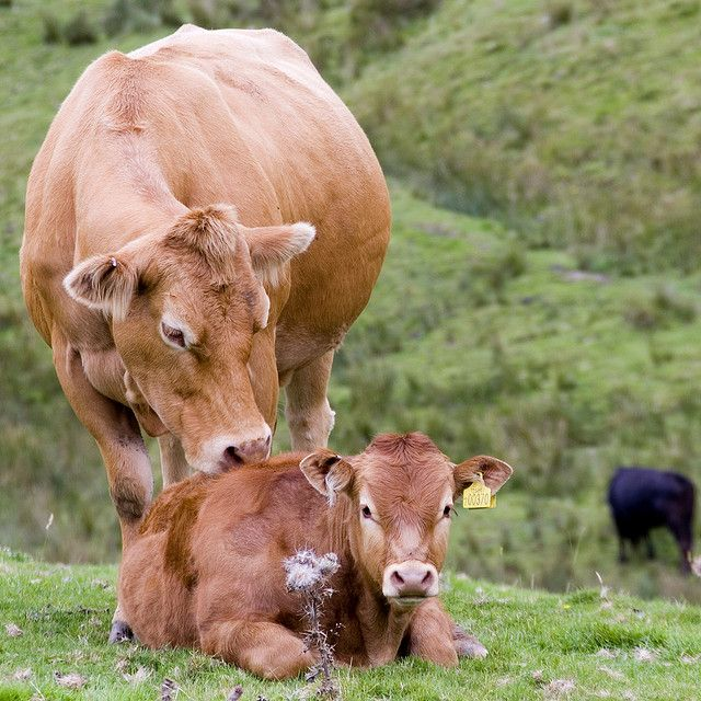Adorable Photos of Cows and Their Calves That Will Warm Your Heart With Happiness.