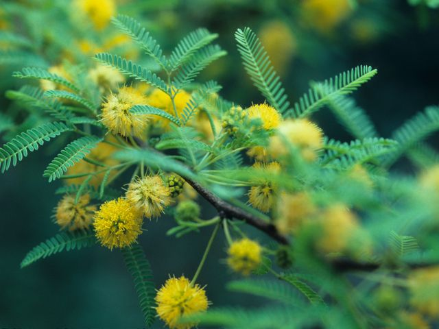 Sweet Acacia (Acacia farnesiana AKA Vachellia farnesiana)