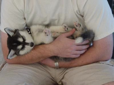 Alaskan Klee Kai Mini Husky | Alaskan Klee Kai ou Mini Husky - LE BLOG DU SHIBA INU ET DES CHIENS ...