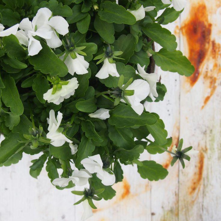 Ihanat valkeat kukat tuovat tunnelmaa Pynnölässä.
