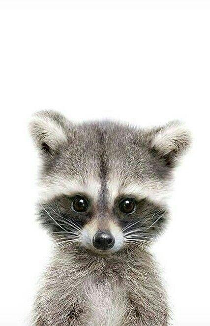 Baby Raccoon Djur S 246 Ta Djur Djur Och Bj 246 Rnar