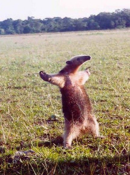 Esse tamanduá parece não conseguir dizer ao mundo o quanto é feliz! (Foto: captiontool.com)