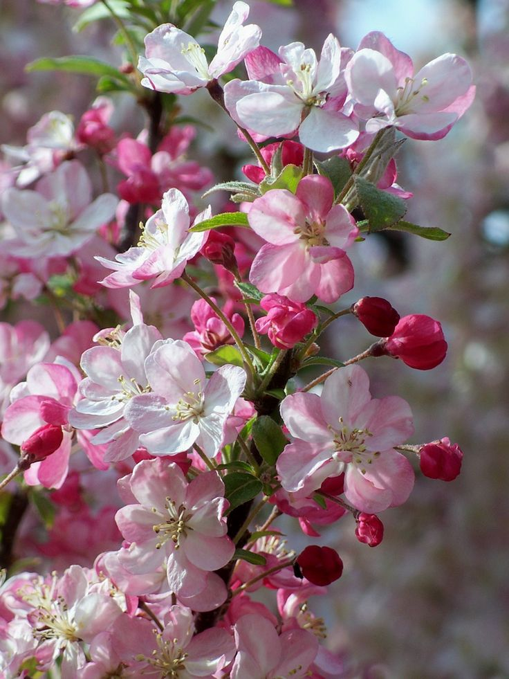 Crabapple Blossoms by TheBigWRanch12 on Flickr.