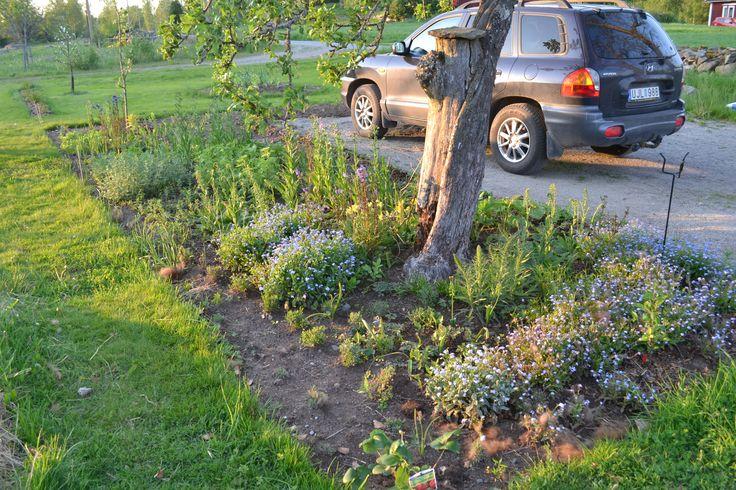 Den blå rabatten vid parkeringen i maj 2014, år ett efter anläggning. #trädgård #garden