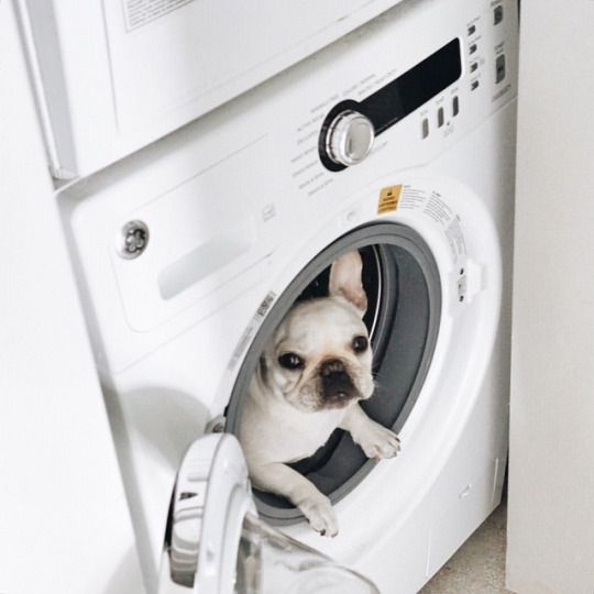 'It's warm in here, that's why', French Bulldog in a Dryer, via Batpig & Me Tumble It