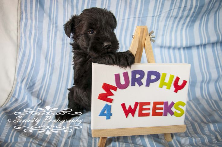 Puppy photoshoot, 4 weeks old. Cute Mini Schnauzers!
