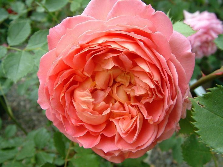 Roses In Garden: 451 Best Images About David Austin Roses On Pinterest