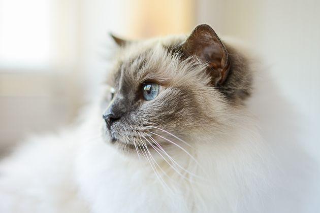 Muotokuva kissasta: pyhä birma Kissi ja kaihoisa katse. Lemmikkikuvauksen salat: kissojen valokuvaaminen - http://www.ifolor.fi/inspire_lemmikkikuvaus_kissat
