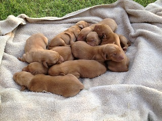 Silver and Charcoal Kennels, leading breeder of Labrador Retrievers and has Fox Red Lab Puppies available for Sale now! See our current Red Lab litters now!