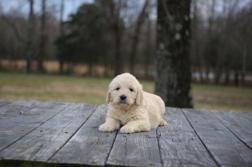 Goldendoodle puppy for sale in GLASGOW, KY. ADN-67281 on PuppyFinder.com Gender: Male. Age: 7 Weeks Old