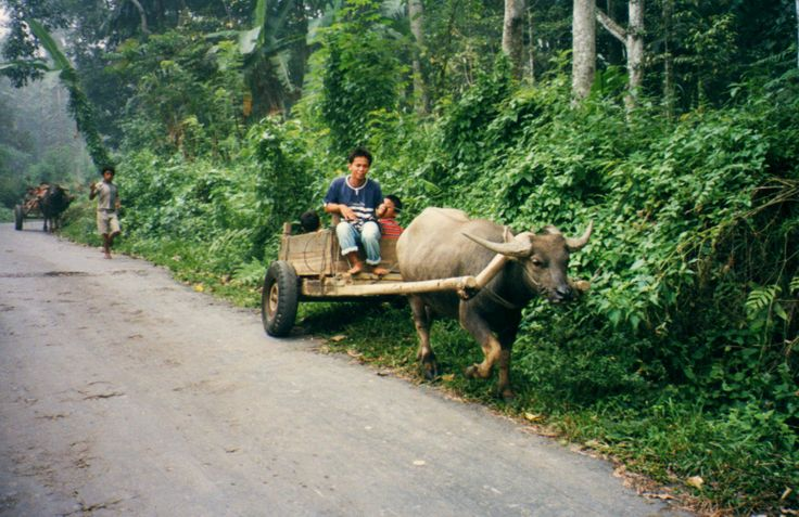 In Indonesia, Bullock Carts are commonly used in the rural parts of the country, where it is used for transporting goods and carriages and also people.