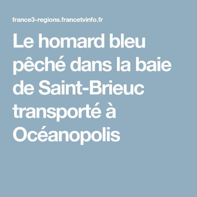 Le homard bleu pêché dans la baie de Saint-Brieuc transporté à Océanopolis