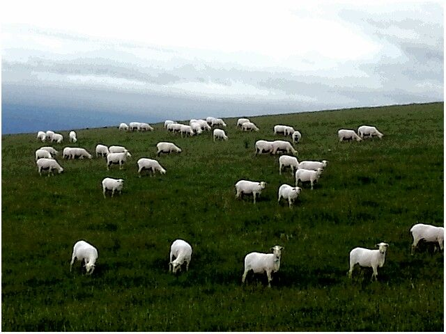 Sheep in the Overberg