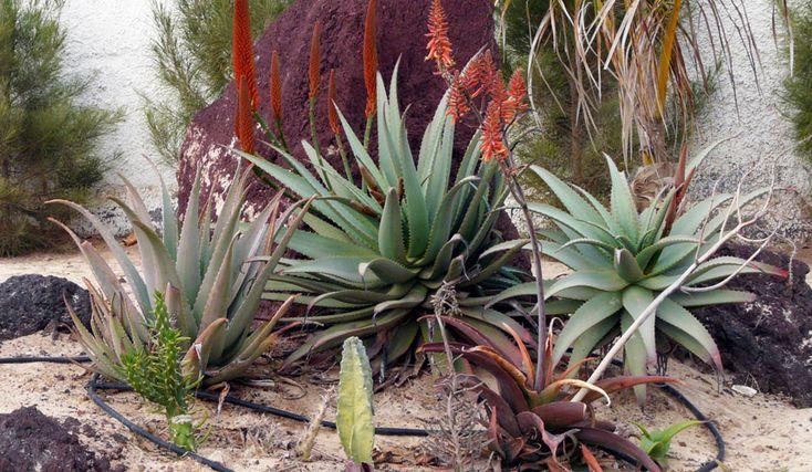 COME RICONOSCERE L'ALOE ARBORESCENS: in natura esistono oltre 350 specie di Aloe, distribuite in tutte le zone del pianeta a clima temperato, sub-tropicale e tropicale. Riconoscere l'Aloe Arborescens dalle altre non sempre è così semplice. Mentre è molto più facile distinguere una pianta di Aloe da una di Agave.  In questo articolo ti spiegherò come distinguere una pianta di Aloe da una di Agave. Inoltre ti insegnerò a riconoscere la specie Aloe Arborescens